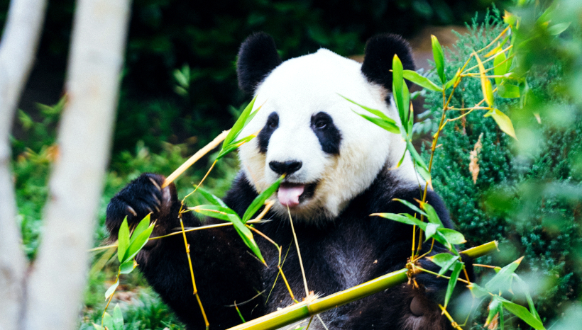 Zookeepers Encourage Pandas to Mate By Telling Them That All the Cool Bears Are Doing It